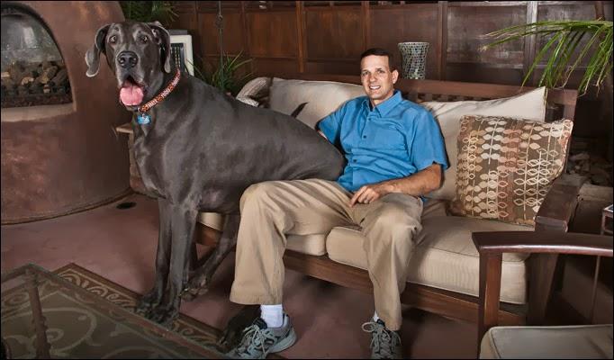 Big Dog Sofa Bed Vinyl Repair Kit Giant George - Worlds Tallest Ever! ...