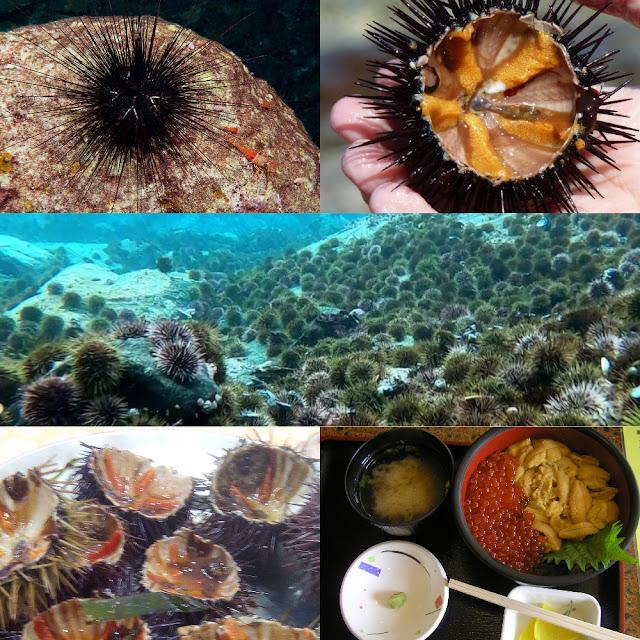 Sea Urchin: Flowergarden.noaa.gov (top left), FoodRepublic.com (top right), Nofima: Sciencenorway.no (middle), Wikipedia (bottom left/right)