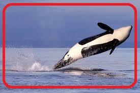 الحوت .. أضخم الحيوانات المعاصرة على وجه الأرض