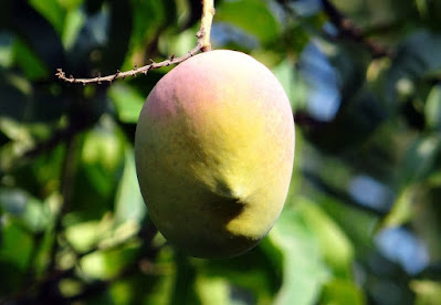 tempat menanam pohon mangga yang baik