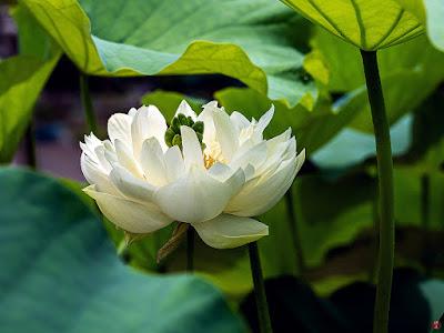 Sacred Lotus flower: Ofuna Botanical Garden (Kamakura)