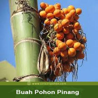 ciri ciri pohon buah pinang