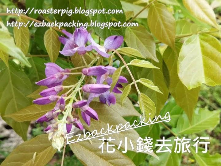 沙田公園紫藤