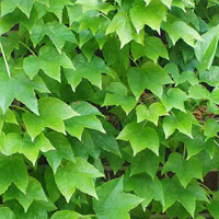 Boston Ivy - Parthenocissus tricuspidata