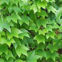Boston Ivy - Parthenocissus tricuspidata