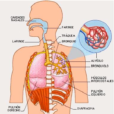 Primaria Kimy Pernia : Sistema Respiratorio.