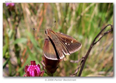 Mariposa saltarína semicirculo (Lerodea eufala)