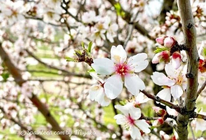 桜に良く似たスペインのアーモンドの花