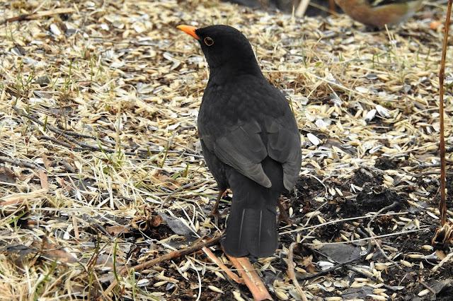 mustarastas, kevät, lintu
