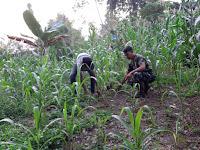 Jalin Kebersamaan antara Babinsa Koramil 07/Perbaungan  dan Petani Bersihkan Rumput di Lahan Jagung