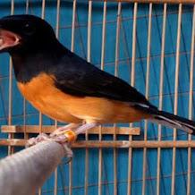 Berbagai Gangguan Kesehetan Yang Sering Terjadi Pada Burung Murai Batu