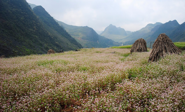 Ha Giang Colored With Beautiful Buckwheat Flowers at the End of Every Year