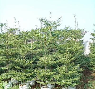 Jual Pohon Ketapang Kencana - Tukang Rumput Bogor