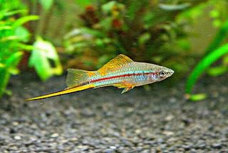 Ikan Hias Aquarium Mini Pedang atau Swordtail