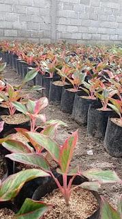 Sedia tanaman aglonema lispstik murah