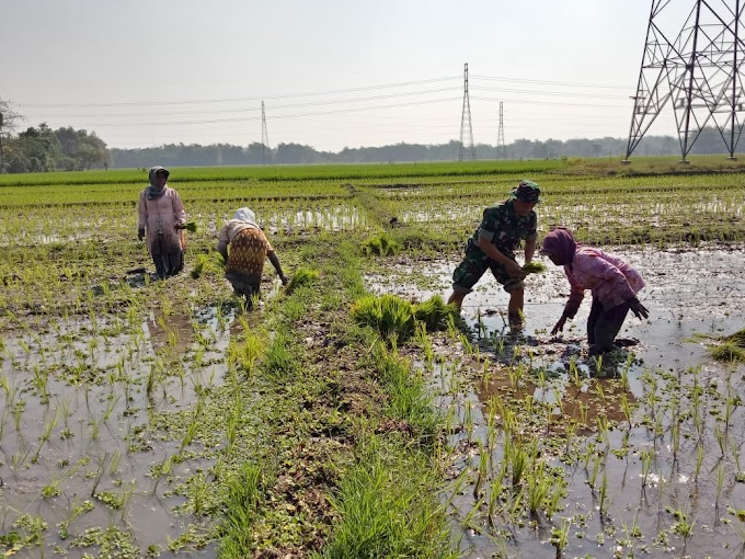 Sukseskan Swasembada Pangan, Babinsa Desa Karang Sentul Bantu Petani Tanam Padi