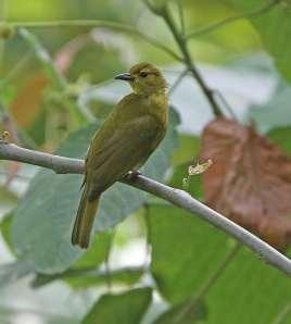Brinji-emas Buru,Burung Cucak Endemik Pulau Buru