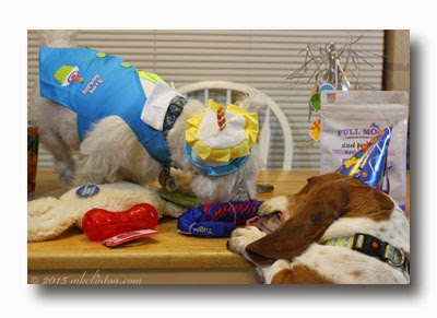 Dogs sharing birthday fun