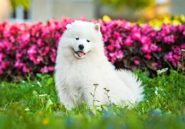 #9 Large Hypoallergenic Dog Breeds For Sensitive Owners