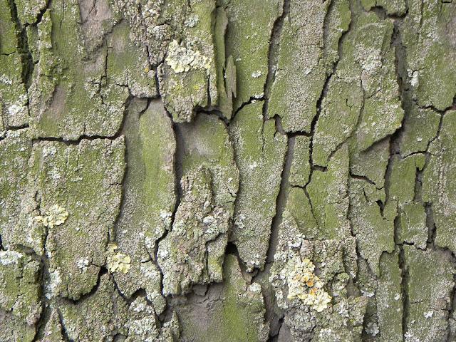 texture corteccia albero