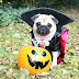14 Trendy Pug Halloween Costumes