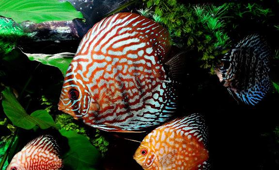 Jenis-Jenis Ikan Diskus