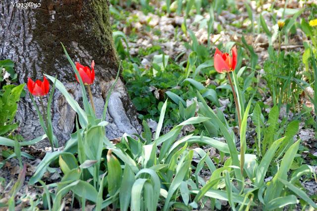 I tulipani rossi che crescono nel Giardino del Castello Reale di Govone
