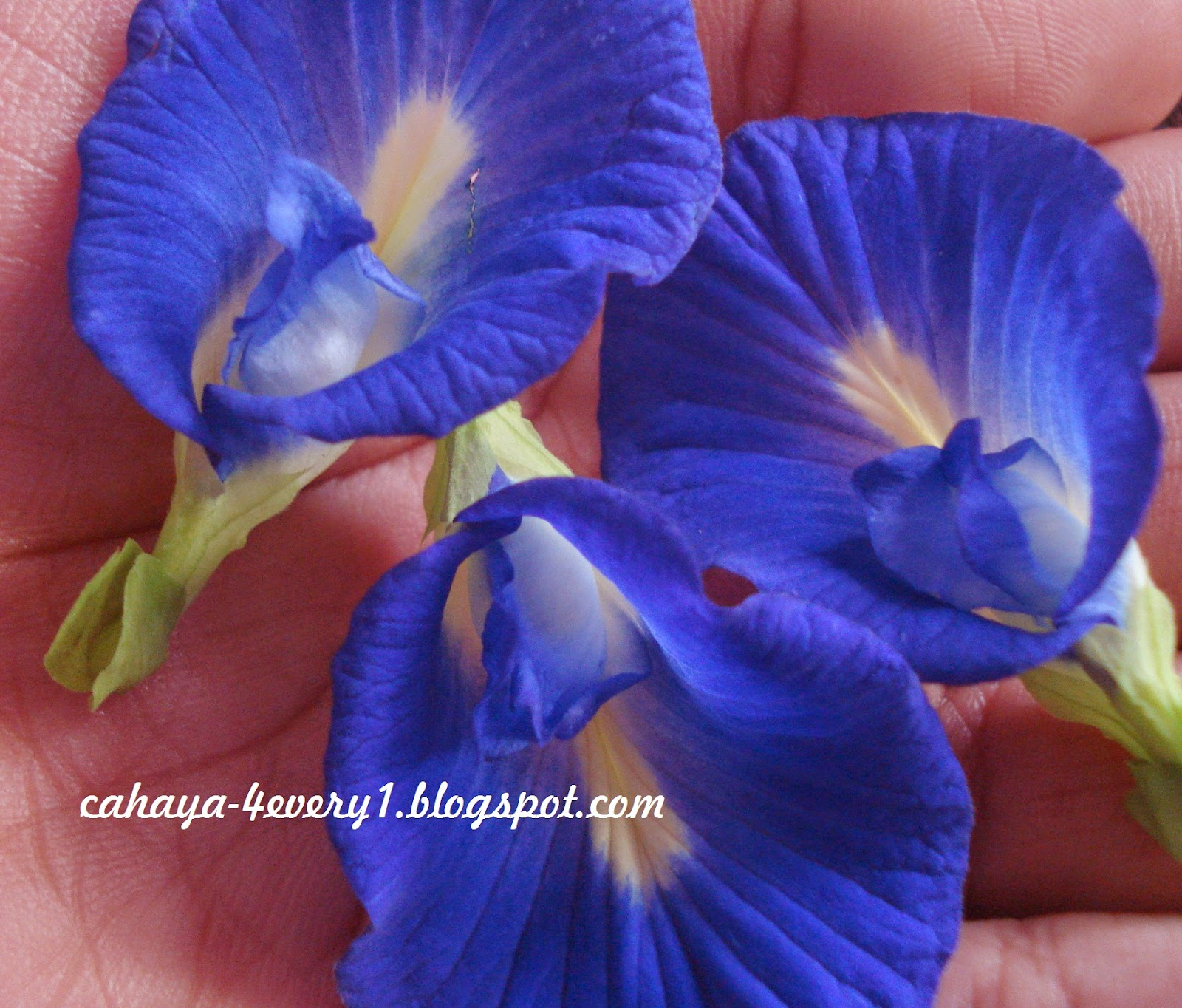 growing butterfly pea from seeds