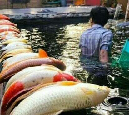 Ikan Koi Mati Mendadak Yuks Simak Penyebab Cara Atasinya Jejaksemut