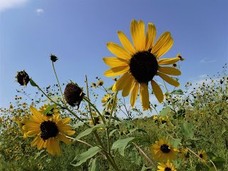 black eyed susans peek up against a blue sky in South Dakota