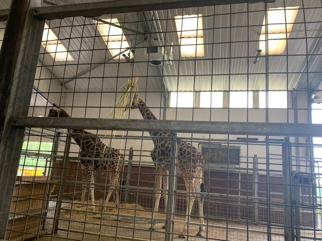 Two giraffes at the zoo