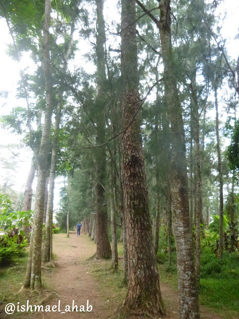 Pine trees in Wright Park of Baguio City