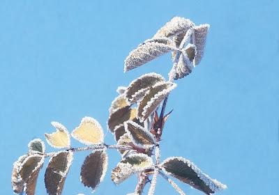 кустик розы чайной, листья замороженные
