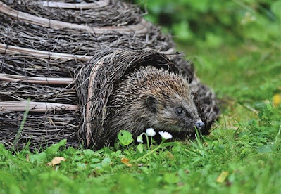 Gardening wildife hedgehog