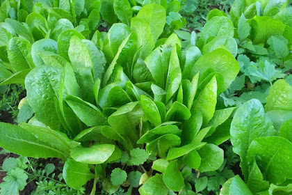 Kelebihan dan kekurangan Manfaat Sayuran Andewi untuk Hilangkan Penyakit