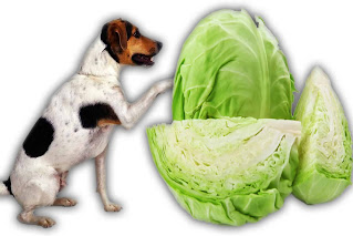 can dogs eat cabbage, can dogs have cabbage