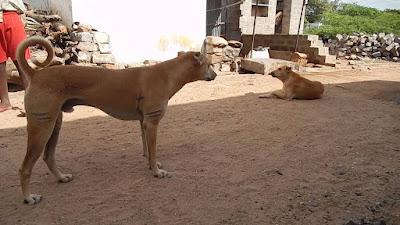 Indian Dog Breeds