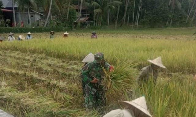 Dimasa Pandemi Covid-19,Kopda Munawarah Bantu Petani Panen Padi