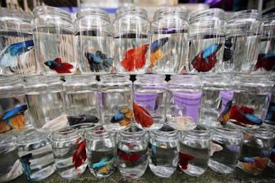 Cara Pembenihan Ikan Cupang Lengkap