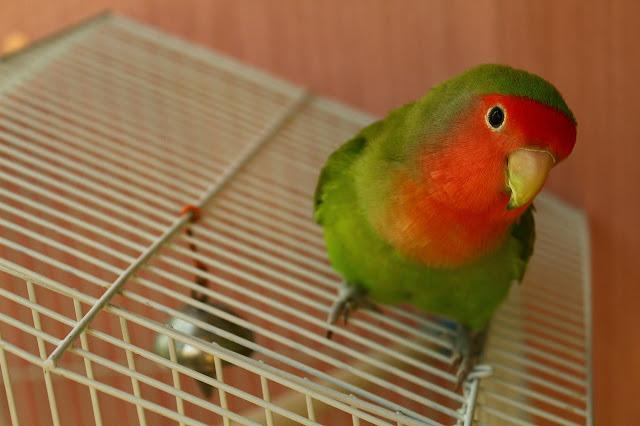 Gambar burung lovebird