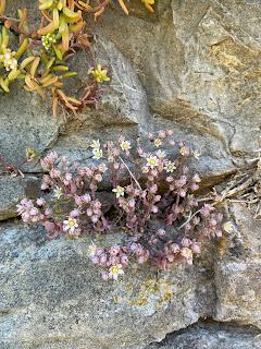 Sedum album and Sedum dasyphyllum growing together on a wall in Bergamo.