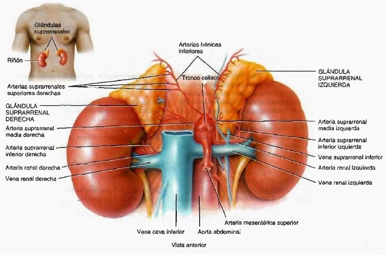 Glándulas suprarrenales - Sistema endocrino