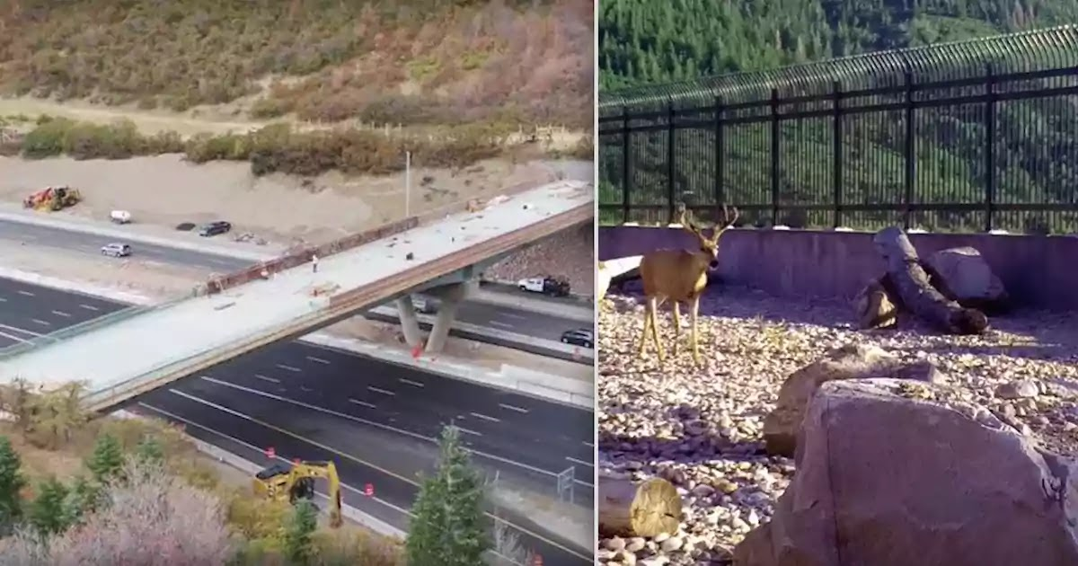 Amazing Video Shows Wild Animals Crossing A Bridge In Utah Constructed To Protect Them From Road Traffic