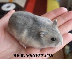cach-phan-biet-chuot-hamster-winter-white-ww-va-campell-chuyen-nghiep-5