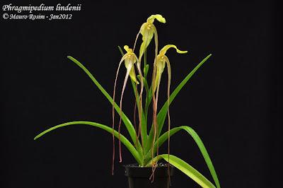 Phragmipedium lindenii care and culture