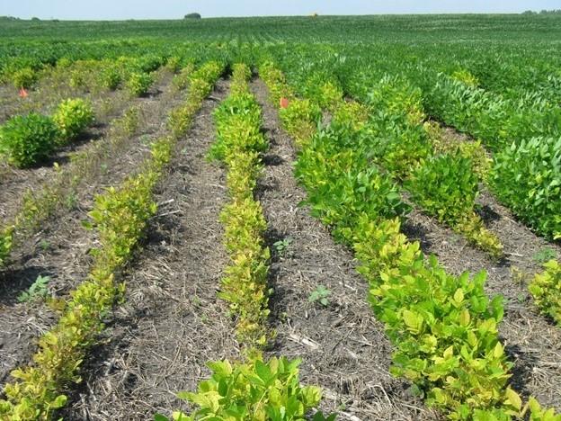 iron deficiency chlorosis soybean