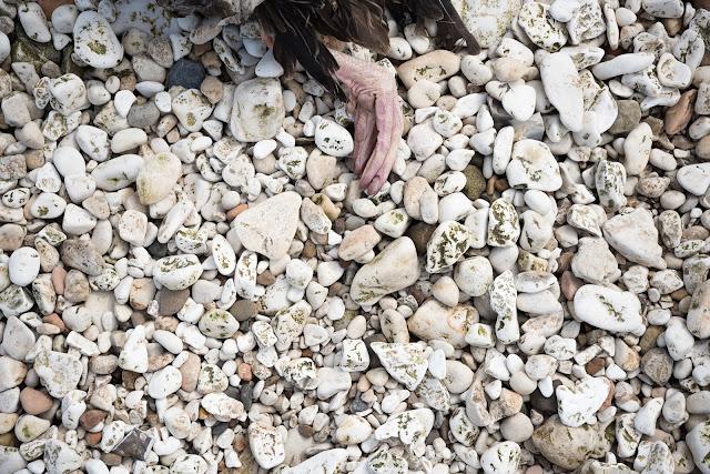 Dead gull on chalk pebble beach