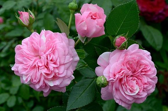 Baronesse сорт розы Тантау фото купить саженцы Минск питомник