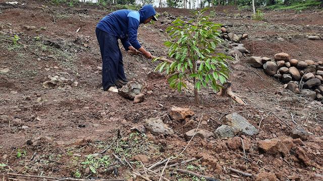 Bagaimana Cara Menyuburkan Tanah Padas?