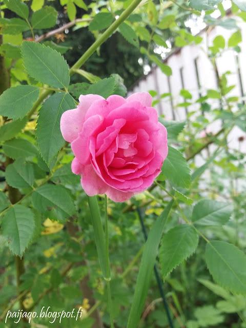 Ilo ruusu